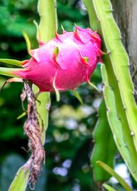 The Cactus Fruit